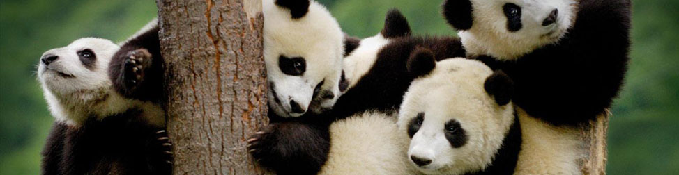 3 Days Bifengxia Panda Base Volunteer Tour, Chengdu Tour