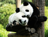 See National Treasures in Chengdu Giant Panda Base