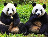 See Adorable Pandas in Chengdu Panda Base